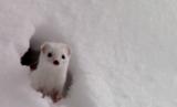 世界最小肉食動物のイイズナってペットとして飼えるの?知っておきたい基礎知識・生体図鑑