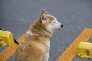 柴犬を最高のパートナーにするにはどう育てたらいいの?