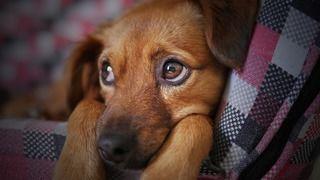犬も結膜炎になるの!?実はワンちゃんもかかる結膜炎の対策法まとめ!