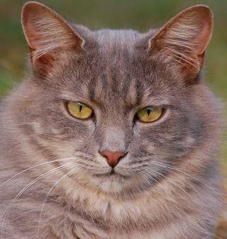 【猫の糖尿病】症状・原因から治療・費用・予防法|病気事典