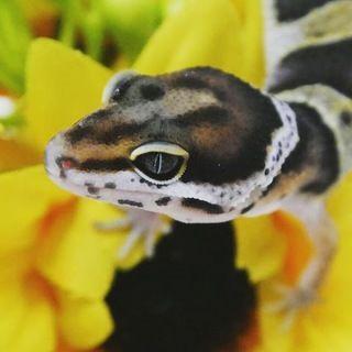 今人気の爬虫類!ヒョウモントカゲモドキ・フトアゴヒゲトカゲ【画像集】