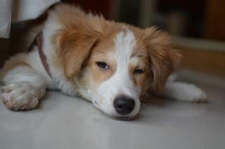 誤飲をあまくみてはいけない!犬の腸閉塞についての症状や原因、手術の費用について