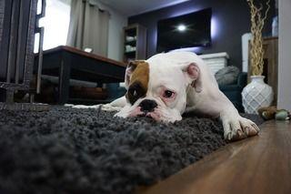 愛犬のイタズラをどうにかしたい!!いたずらをする原因・病気・イタズラをやめさせるための対策