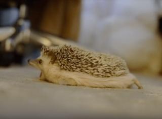 ハリネズミの「あくび」がかわいい画像と動画7選♡