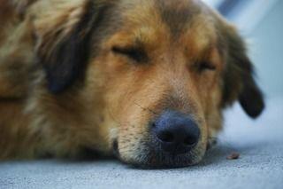 犬の心不全…!うまく付き合えば怖くない心臓病との向き合い方!