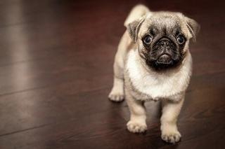 子犬たちを狙う、死亡率の高い「犬パルボウイルス感染症」の症状や原因、家庭での消毒方法