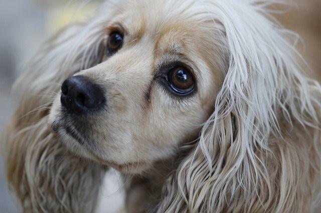 東洋眼虫(とうようがんちゅう)症状・原因から治療・予防法まで、犬猫の目の病気を知る|病気事典
