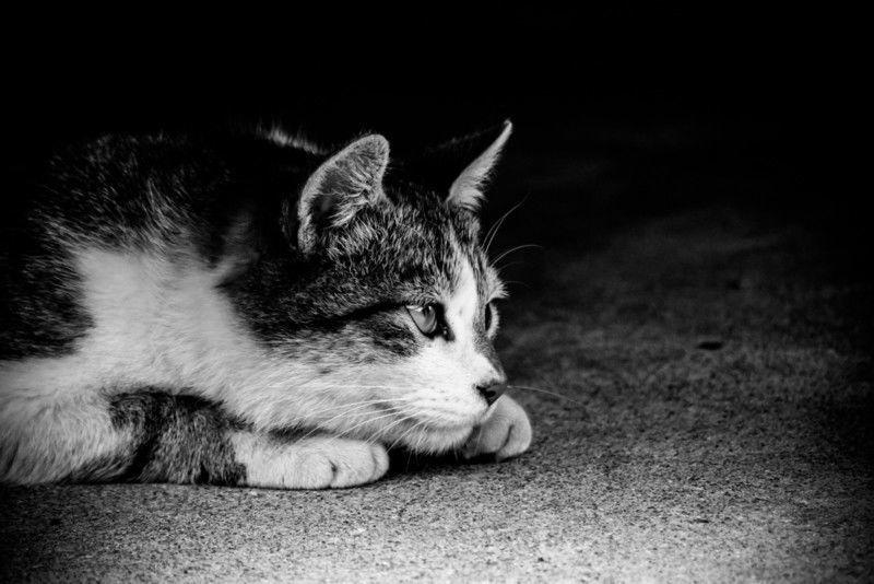 猫白血病ウイルス感染症、症状・原因から治療・予防法まで、猫感染症の病気を知る 病気事典