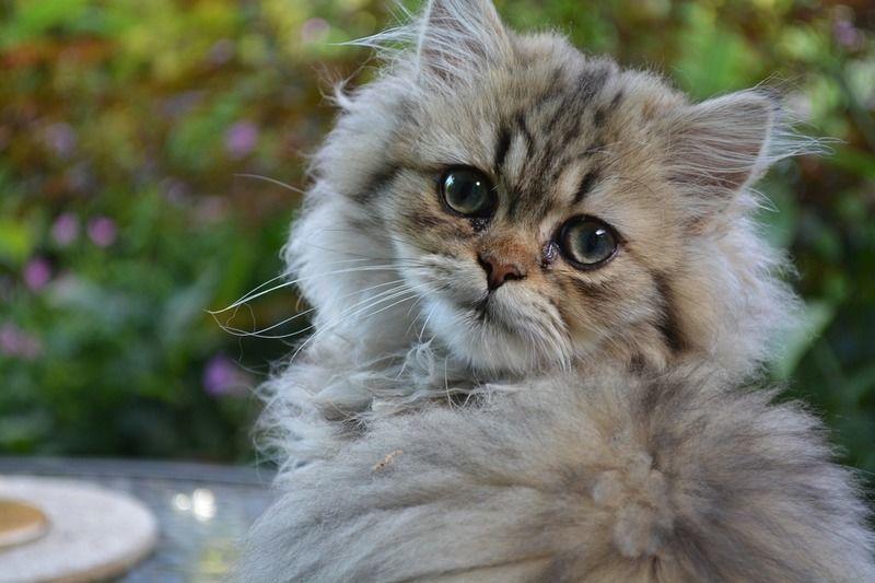 ブサかわなペルシャ猫の生体|病気|性格|しつけ方法|図鑑