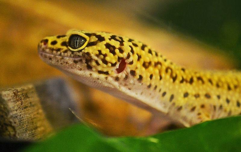 可愛い爬虫類!ヒョウモントカゲモドキ(レオパ)の性格・飼い方・生息地など生体|図鑑