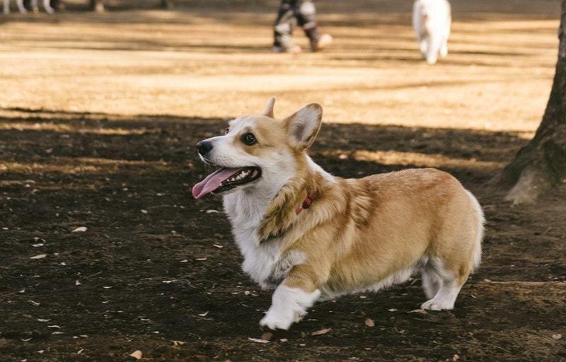 犬のオスの去勢手術によるメリットとデメリット、手術時期・費用・保険適用はされる?